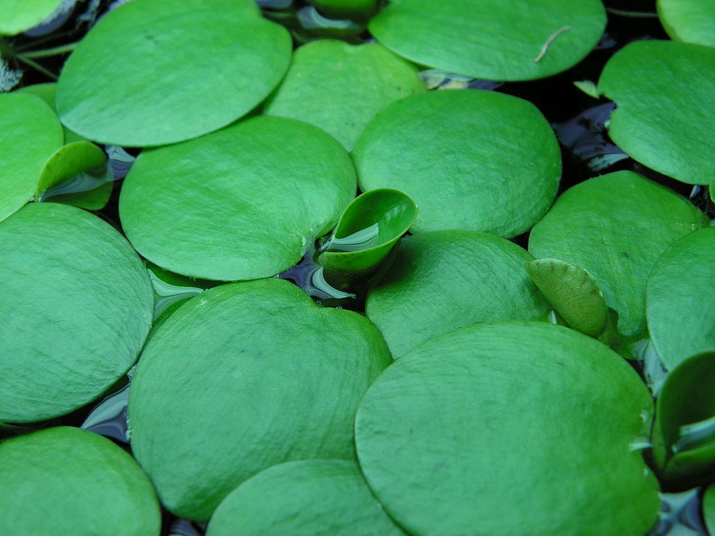 Frogbit has smooth, rounded, fleshy leaves up to 4 cm across