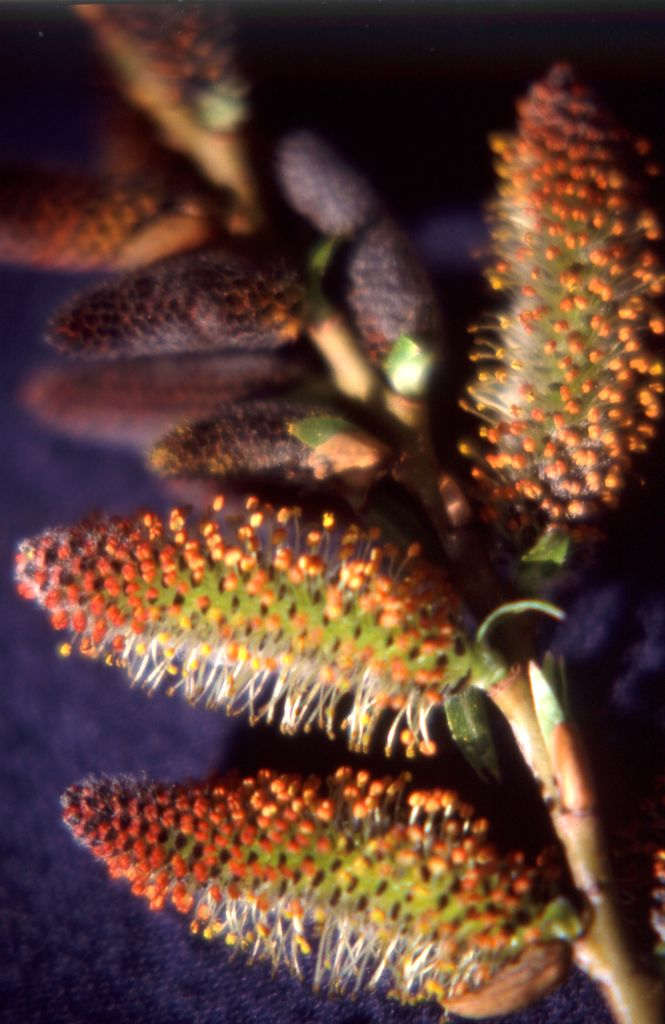 The catkins of a male hybrid shrub willow, S. x reichardtii.
