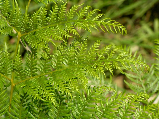 Close-up of a mature frond