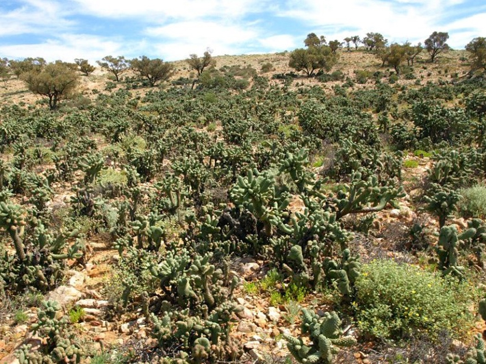 Boxing glove cactus is a member of the Cylindropuntia genus of prickly pears.