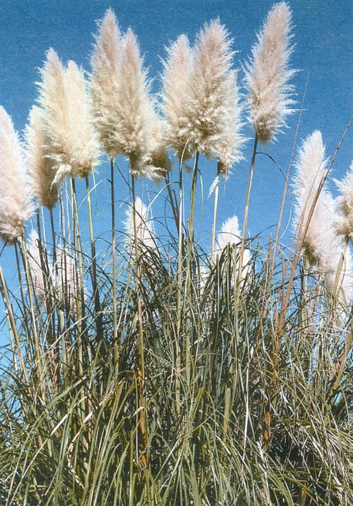 Common pampas grass (C. selloana). Note the white flower head.