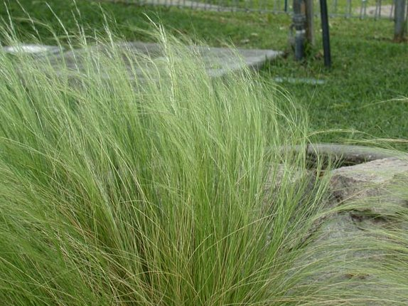 Mexican feather grass plant