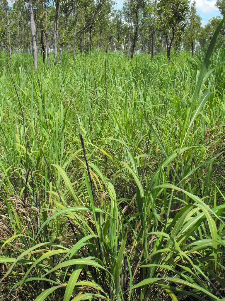 Gamba grass infestation.