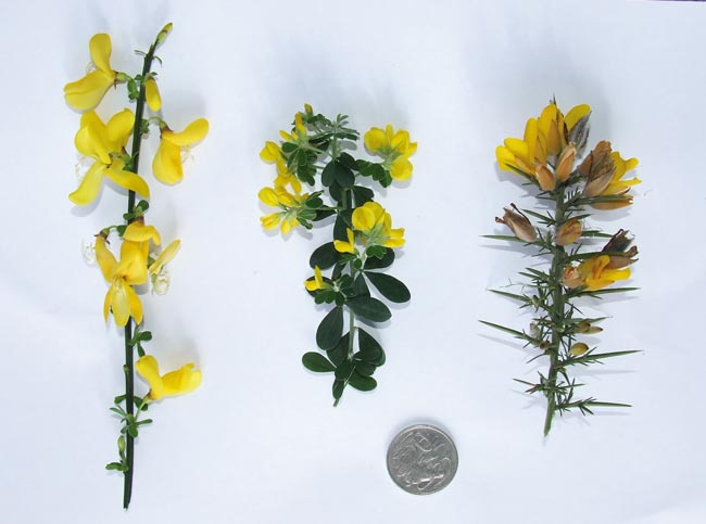 Left to right: Scotch broom; Cape broom; Gorse.