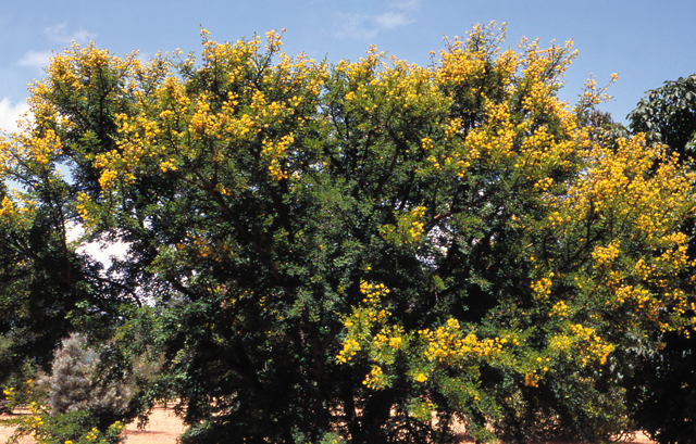 The yellow flowers of karroo thorn are prominent during summer.