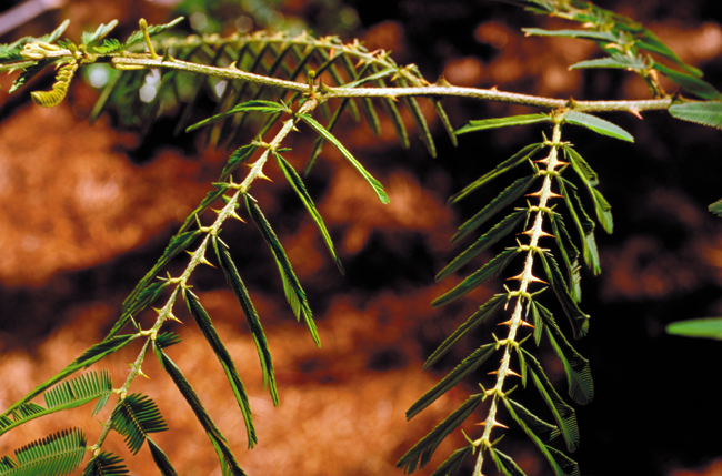 Mimosa is called giant sensitive plant, as its leaves constrict when touched.