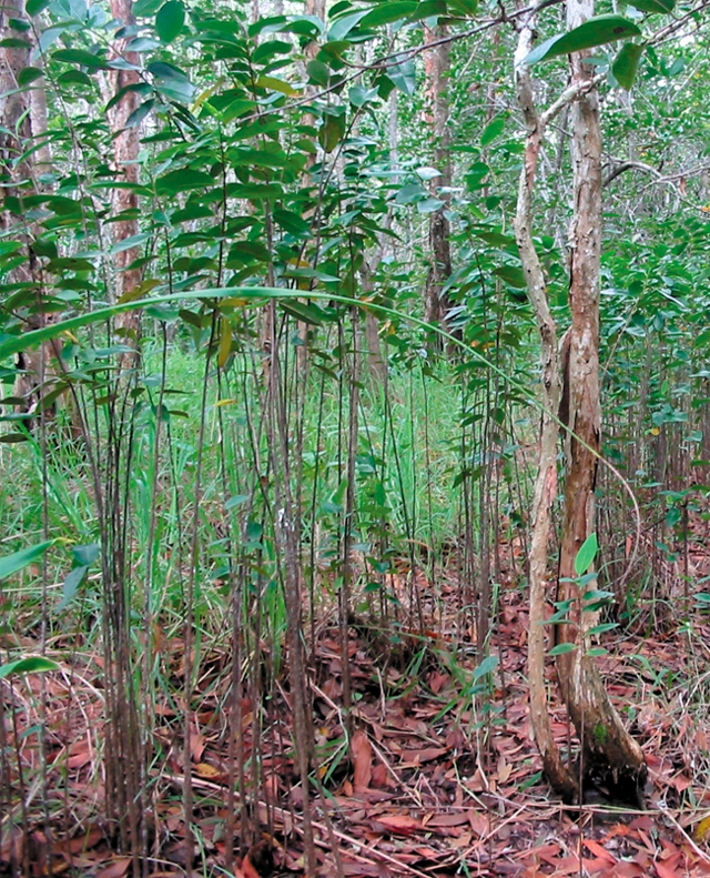 Pond apple can spread into relatively undisturbed habitats such as paperbark forests.