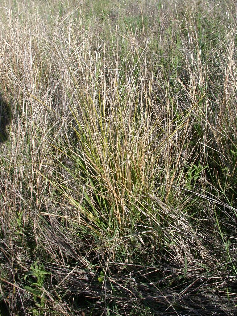 Giant rat's tail grass