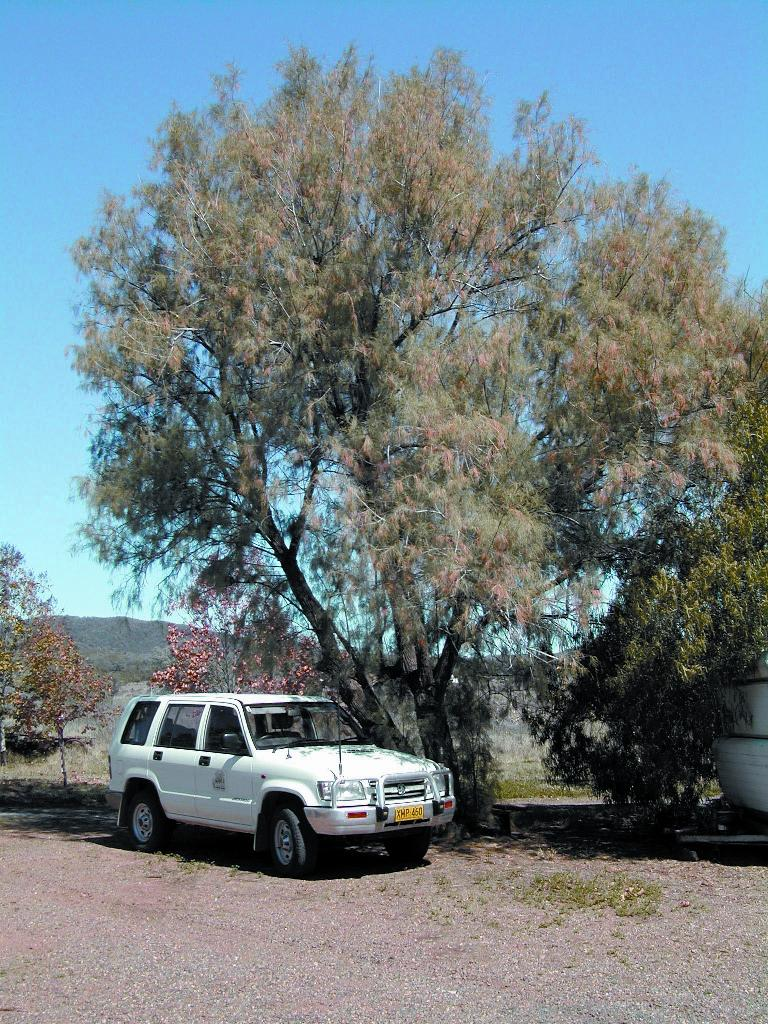 Athel pine was traditionally planted around  homesteads for shade.