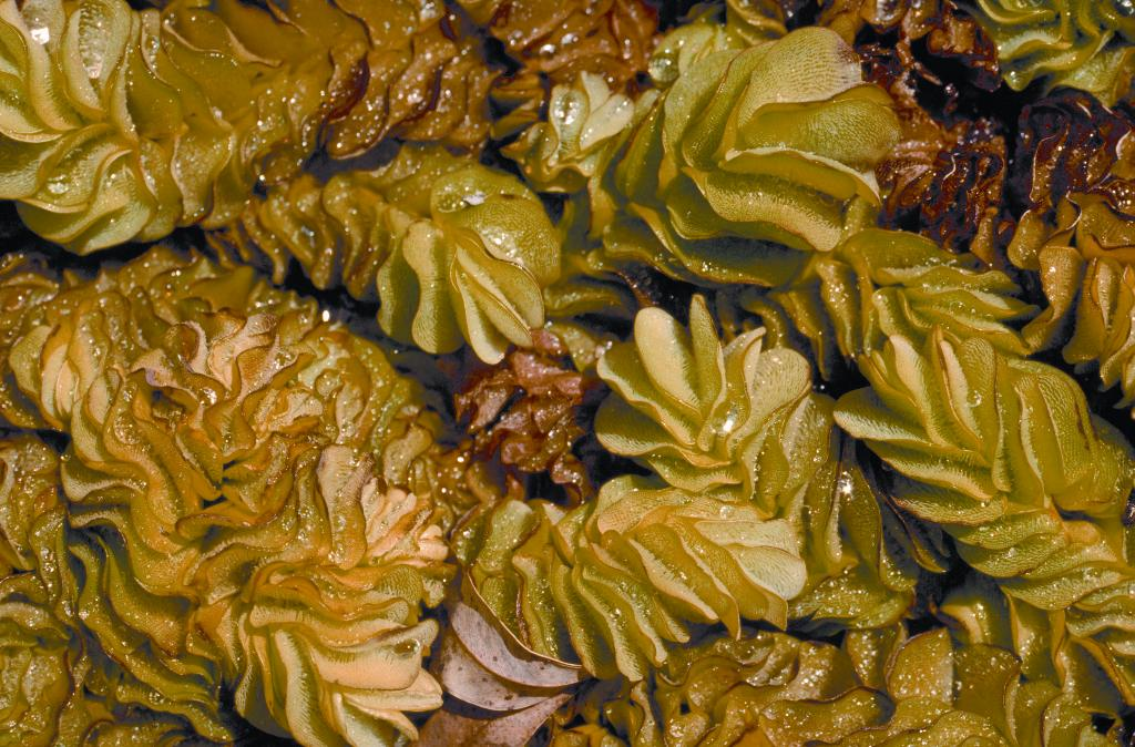 Salvinia forms dense mats that can cover entire waterbodies.