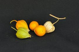 Physalis viscosa, Prairie ground cherry