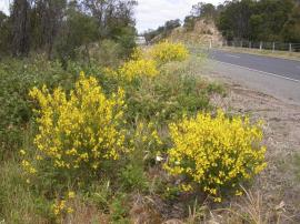 Spartium junceum - Spanish or weavers broom