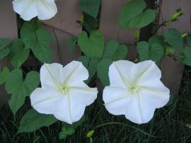 Moonflower has white flowers and characteristic heart-shaped leaves.