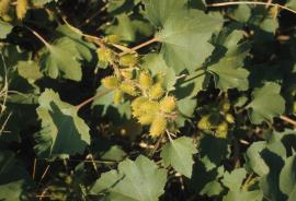 Noogoora burr, Xanthium occidentale