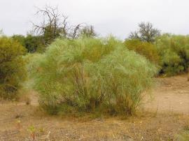 White weeping broom is an aggressive invader which thrives on nutrient-poor soil.