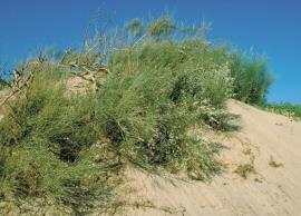 In the Mediterranean region, white weeping broom is found in dry sandy conditions.