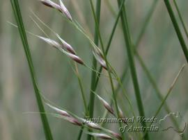 Flower spikelets of broad kernel espartillo.