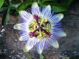Blue passionflower.
