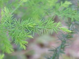 Close-up image of climbing asparagus foliage.