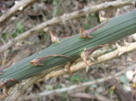 Spines on the stems of climbing asparagus.
