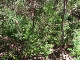 Ming asparagus fern infestation in bushland.