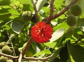 Paper mulberry female flowerhead and fruits.