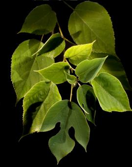 Paper mulberry leaves.
