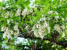 Black locust flowers and fruit