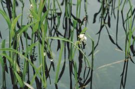 The narrow-leaved emergent form of sagittaria.