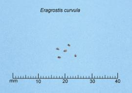 African lovegrass seeds are about 1 mm long
