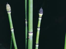 Fruiting cones of horsetails