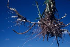 Johnson grass rhizomes
