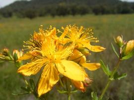 St John's wort has yellow flowers with five petals.