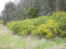 Cape broom can grow to 3 m high.