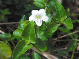The characteristic flowers of Chinese violet are white with two purple stripes.