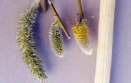 Elongated female catkin after flowering, flowering female catkin, male catkin at start of flowering.