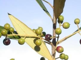 African olive fruit are light green with white spots when unripe, and darken to purple-black as they ripen