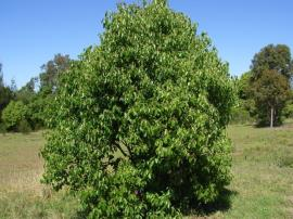 Young camphor laurel tree