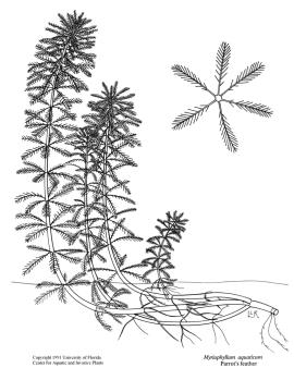 Line drawing of parrot's feather, showing whorled leaves in stem cross-section.