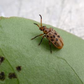 The leaf-eating beetle is a biological control agent in Australia.