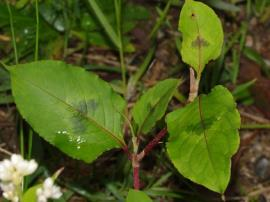 Chinese knotweed leaves have characteristic v-shaped blotches in their centres