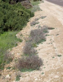 Roadside infestation of Sicilian sea lavender