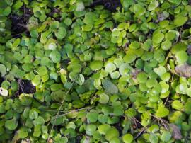 Infestation of frogbit at Green Point, near Forster