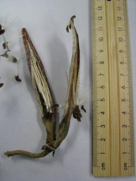 Carrion flower seed pods