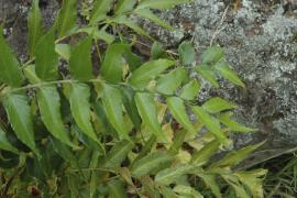Holly fern leaves