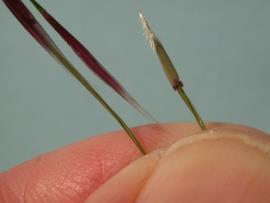Chilean needle grass seeds have backwards pointing hairs at the stem end