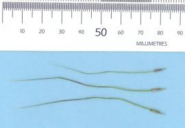 Chilean needle grass seed with bent awns