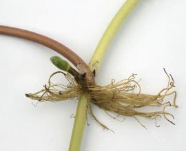 Roots and leaf stalks grow from the node.