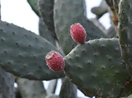 Fruit of common pear Opuntia stricta