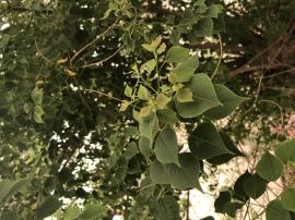 Chinese tallow tree has wide leaves with a long pointed tip.